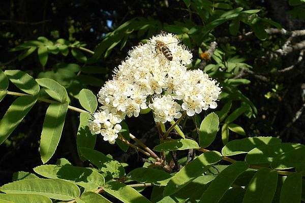 пчела на рябине